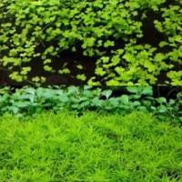 전경수초 새우수초 초보 키우기 쉬운 어항수초