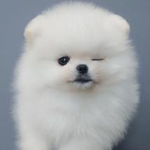 강아지분양 명가 퍼피앤유